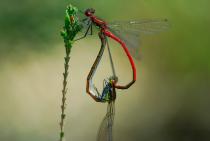 Excursie in Libellenreservaat de Wyldemerk op 11 augustus