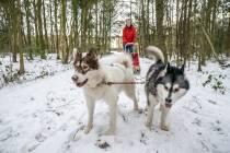 VIDEO/FOTO / Rinus Jellesma met de sledehonden op pad