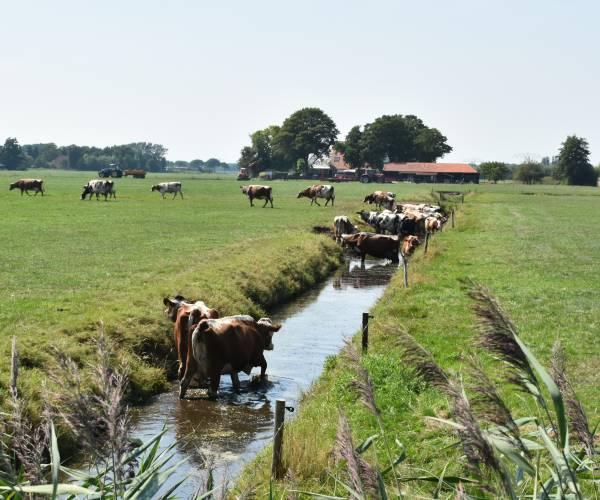 Koeien zoeken massaal verkoeling